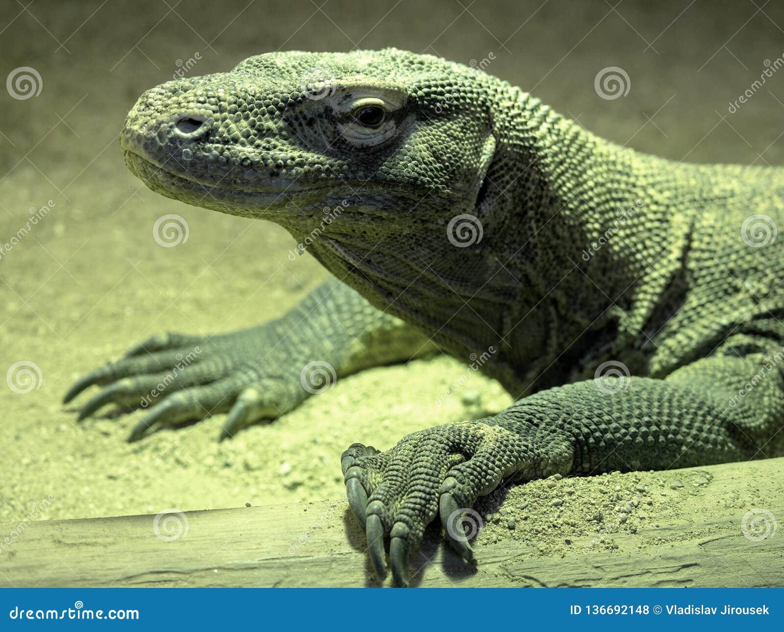 Portret van een grote Komodo-draak, Varanus-komodoensis