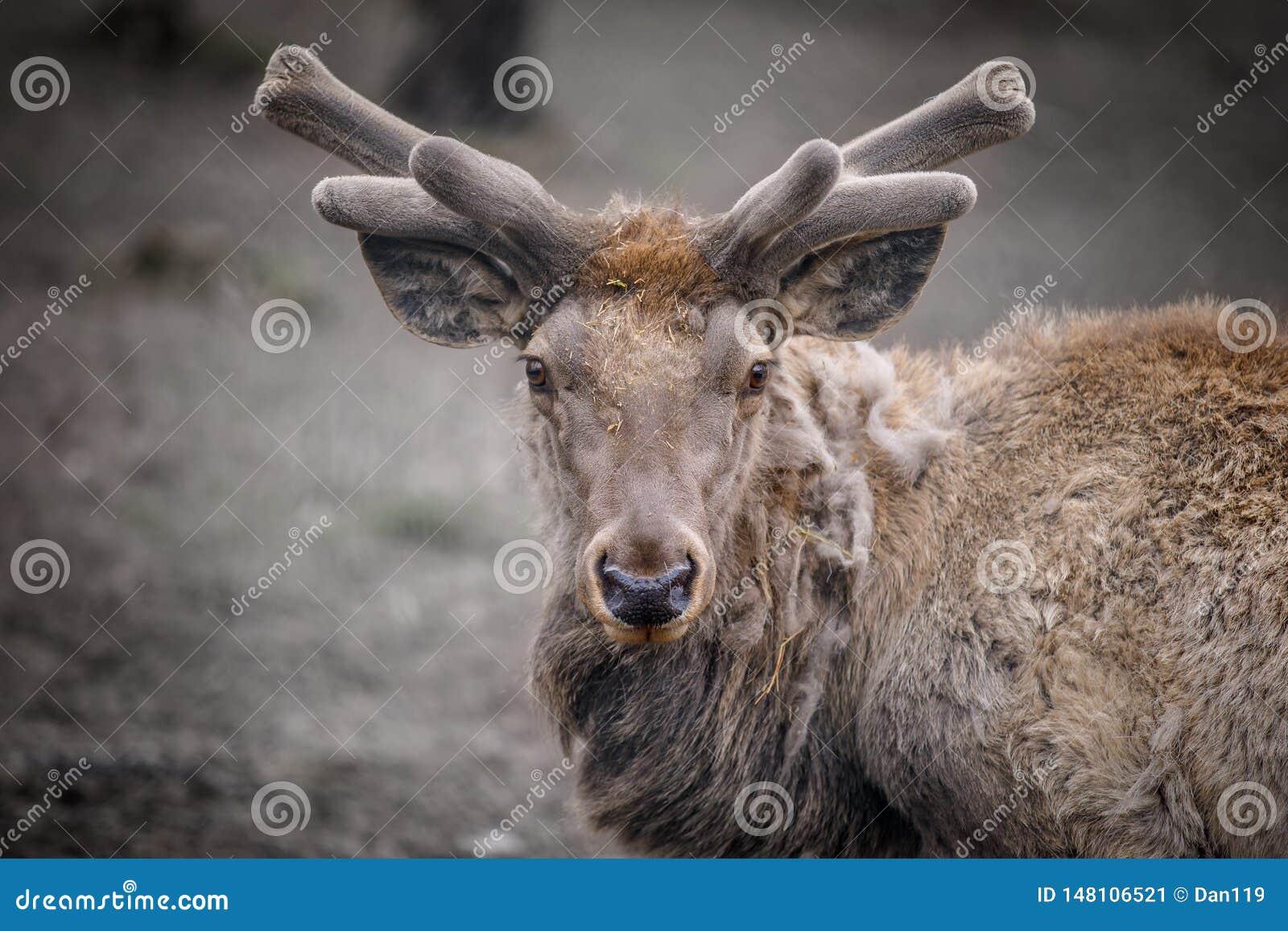 Portret van een hert die dicht bij het bos liggen