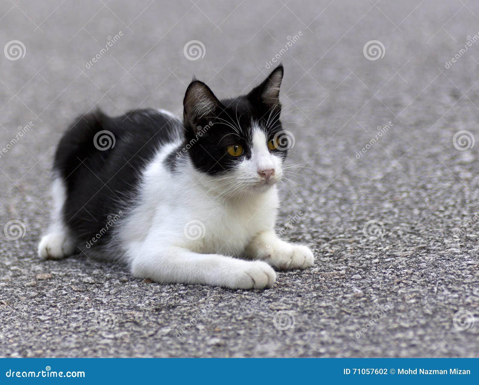 Portret van een kat die op tarmac rusten