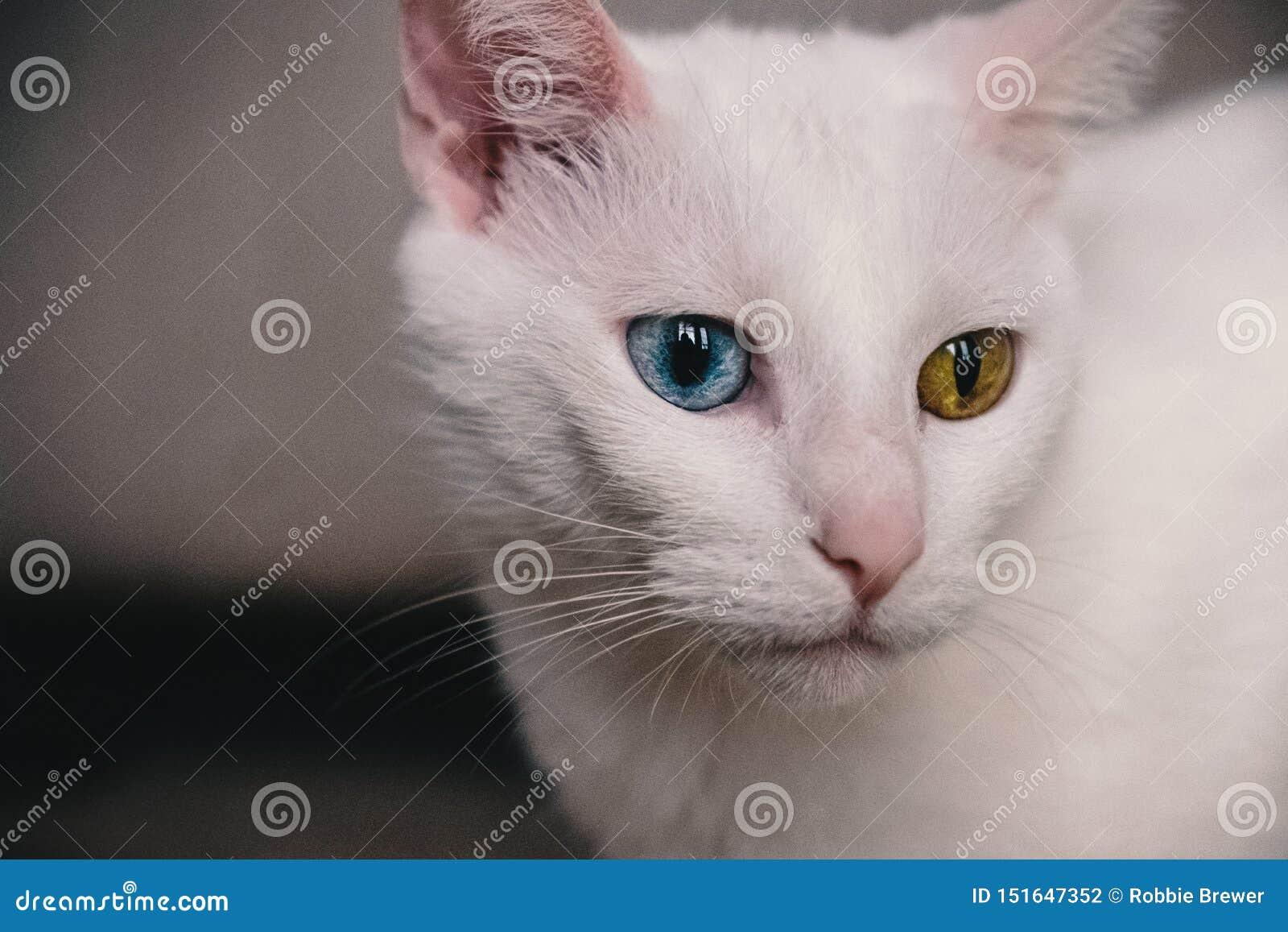 Portret van een kat met heterochromia