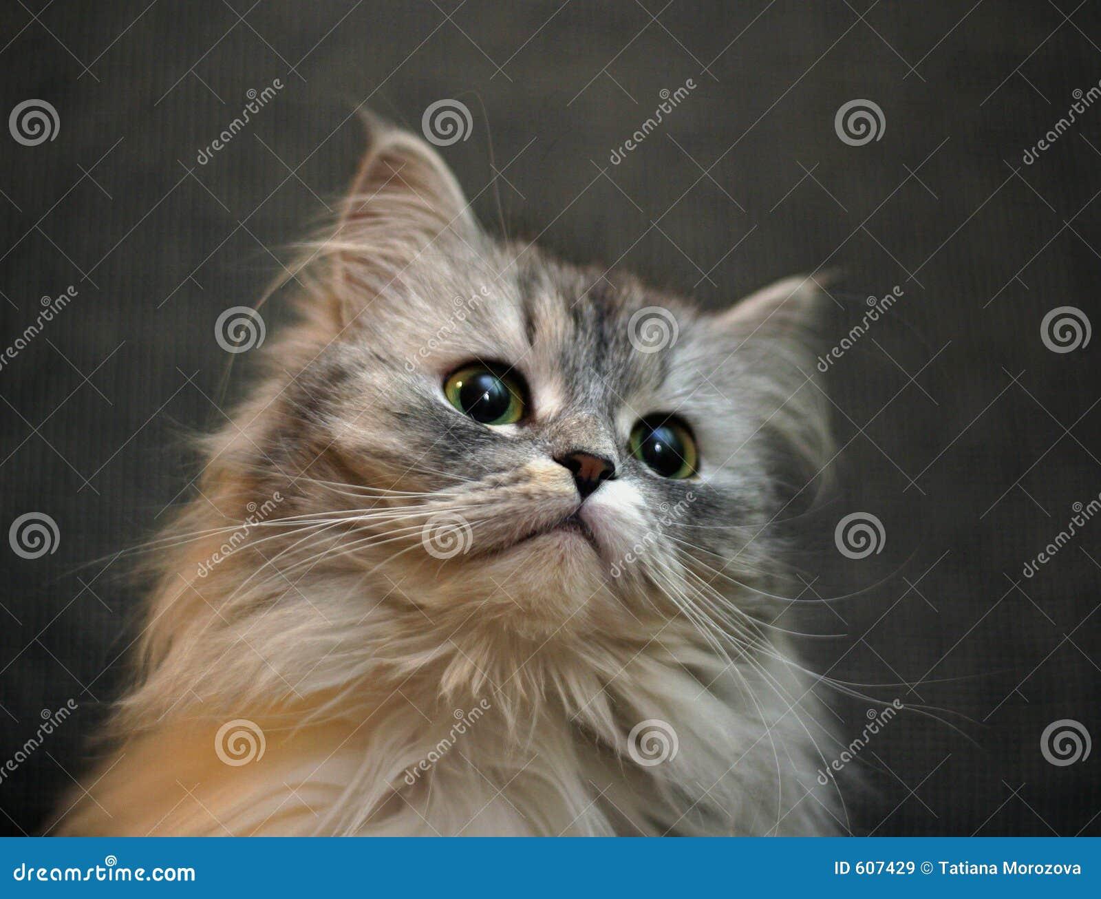 Portret van een kat met verschillende ogen