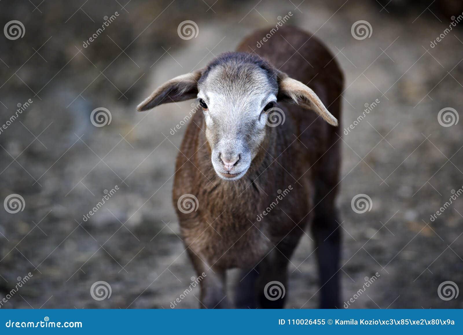 Portret van een klein schaap in de werf op een landbouwbedrijf