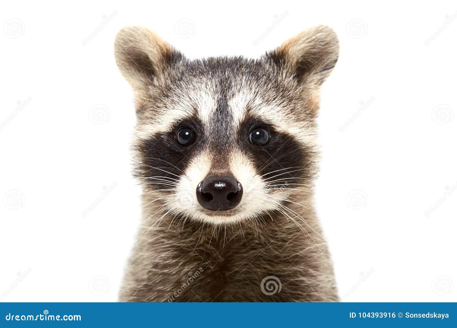 Portret van een leuke grappige wasbeer