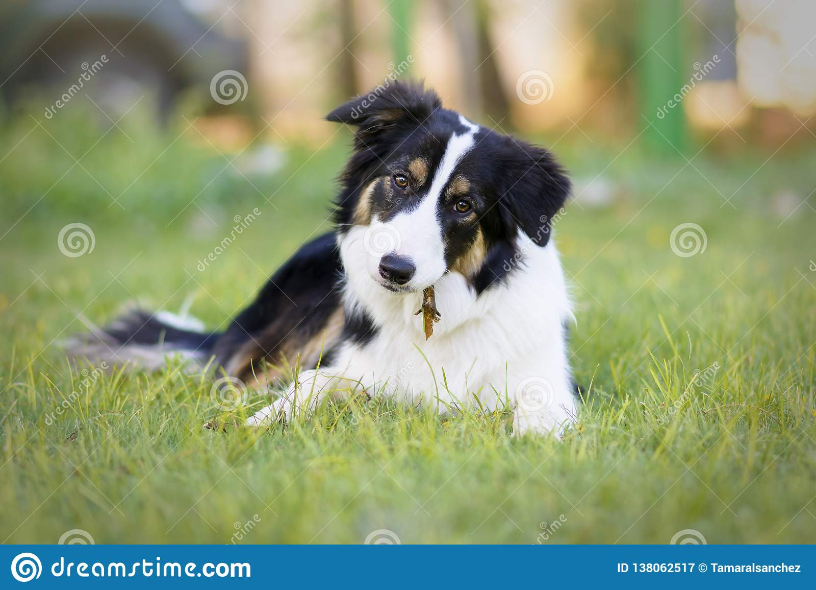 Portret van een mooi jong Border collie-puppy