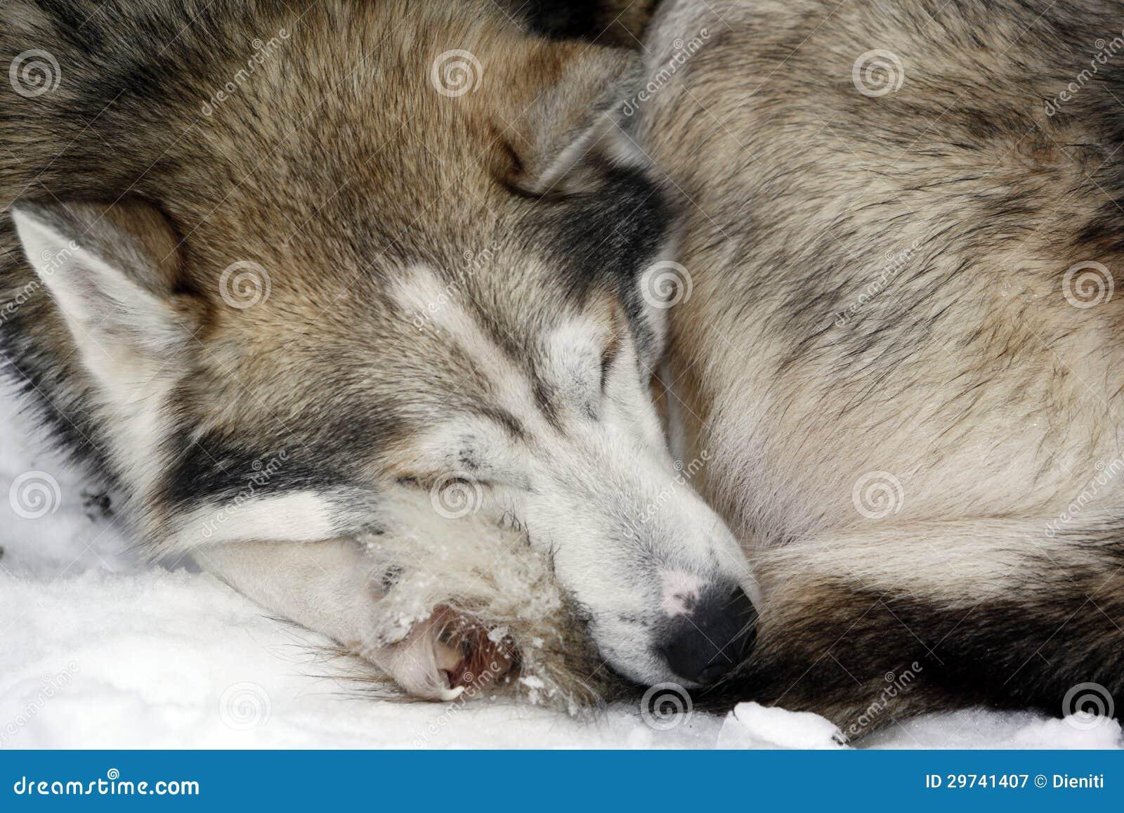 Het slapen siberische schor in sneeuw stock afbeelding afbeelding 29741407 - Een mooie kamer van een mooie meid ...
