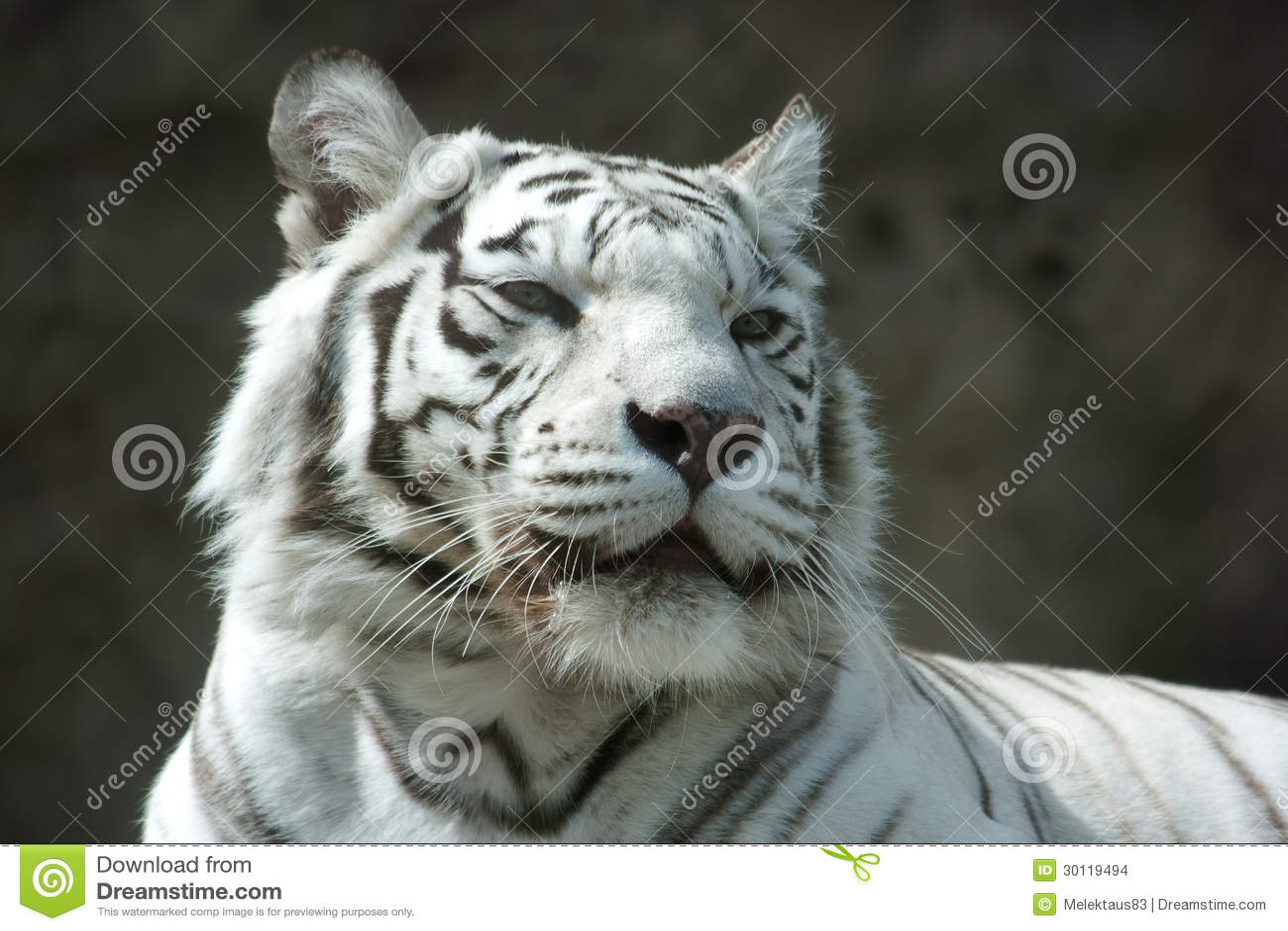 Portret van een witte tijger stock foto afbeelding 30119494 - Een mooie kamer van een mooie meid ...