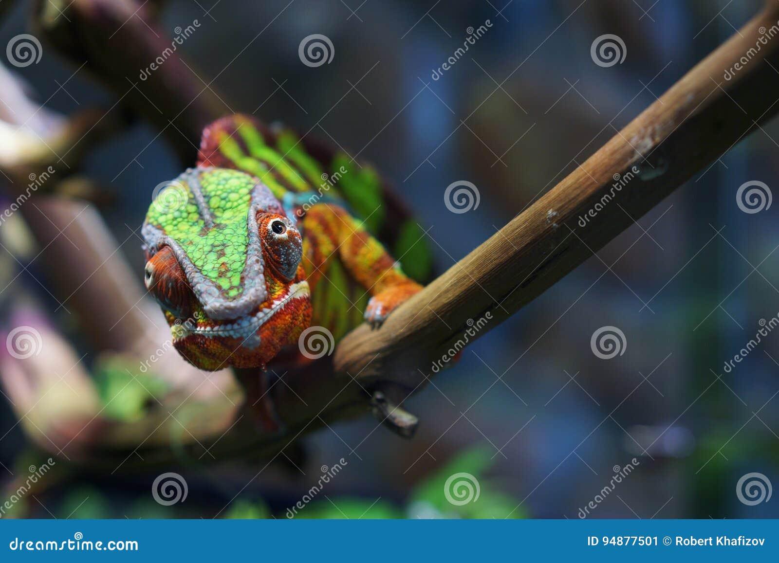 Portret van een panterkameleon van mooie kleur