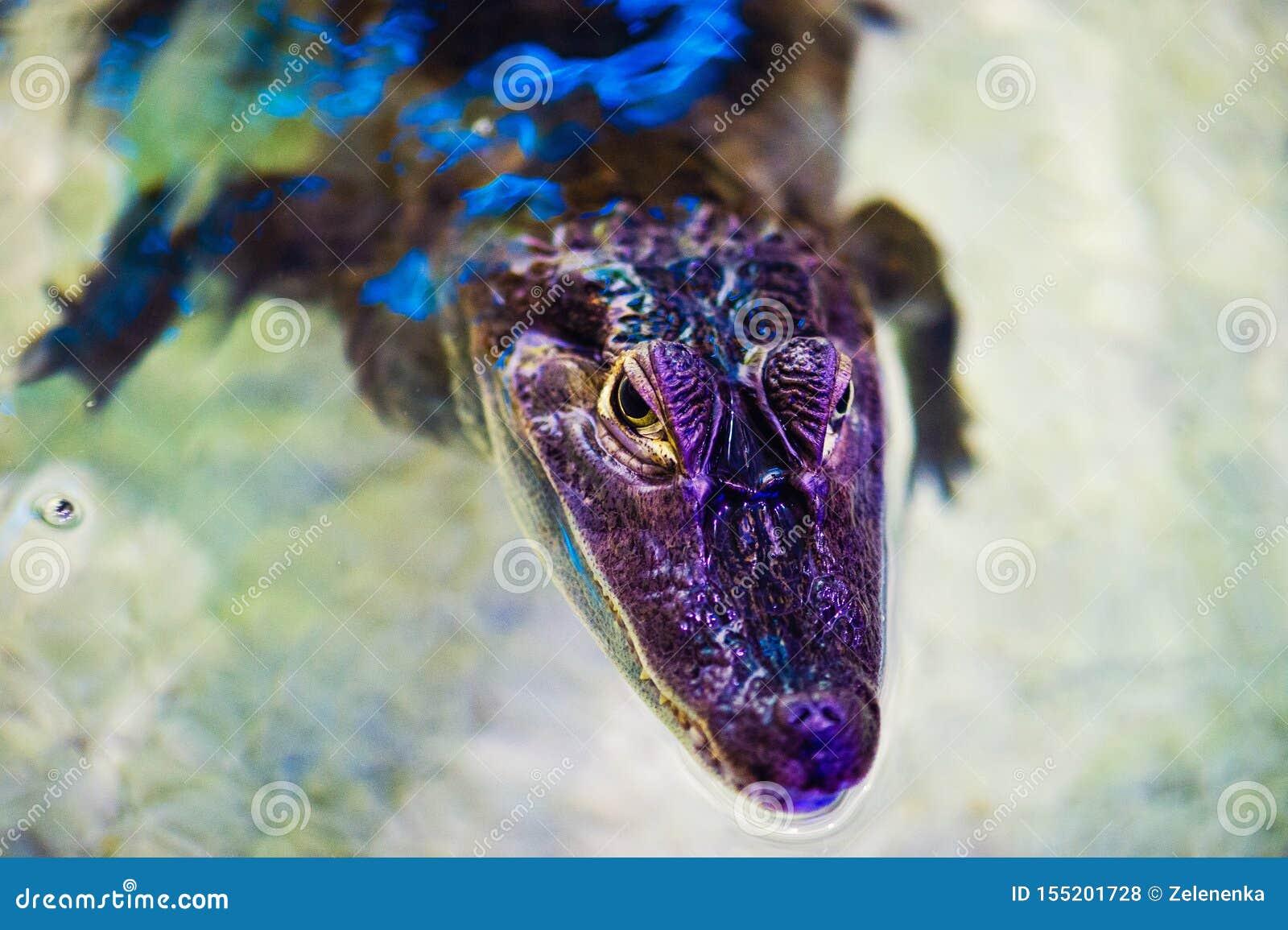 Portret van een vreselijke krokodil