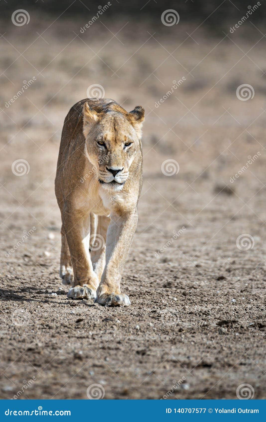 Portret van een Vrouwelijke Leeuwin, Panthera-Leeuw