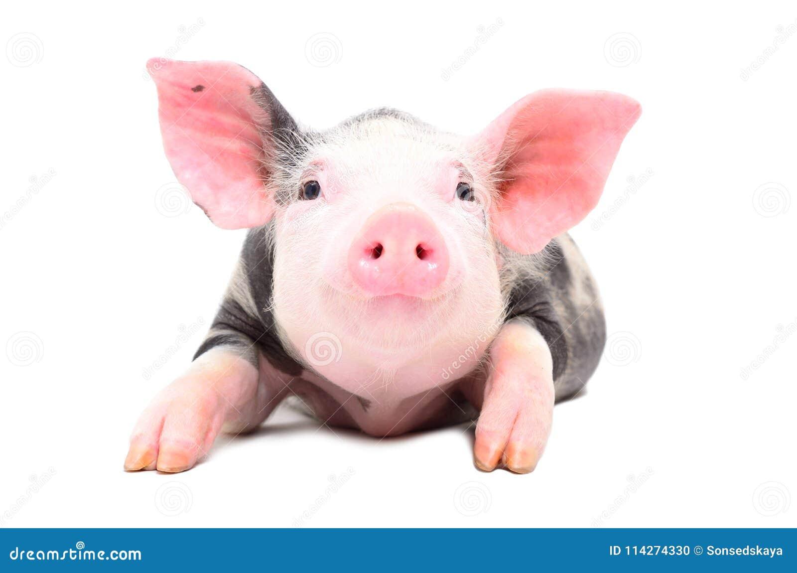 Portret van een weinig leuk varken