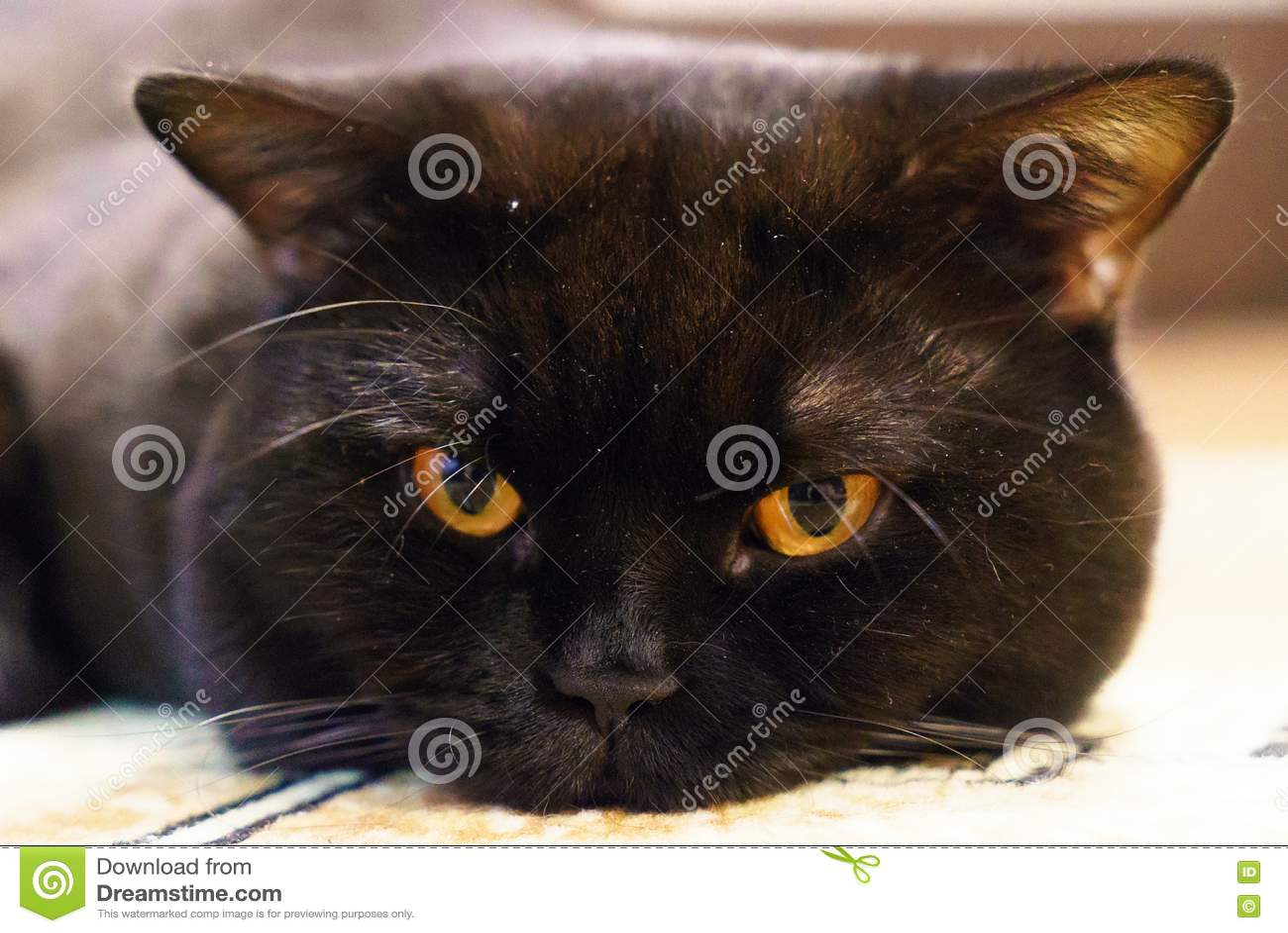 Portret van een zwarte Britse kat met oranje ogen