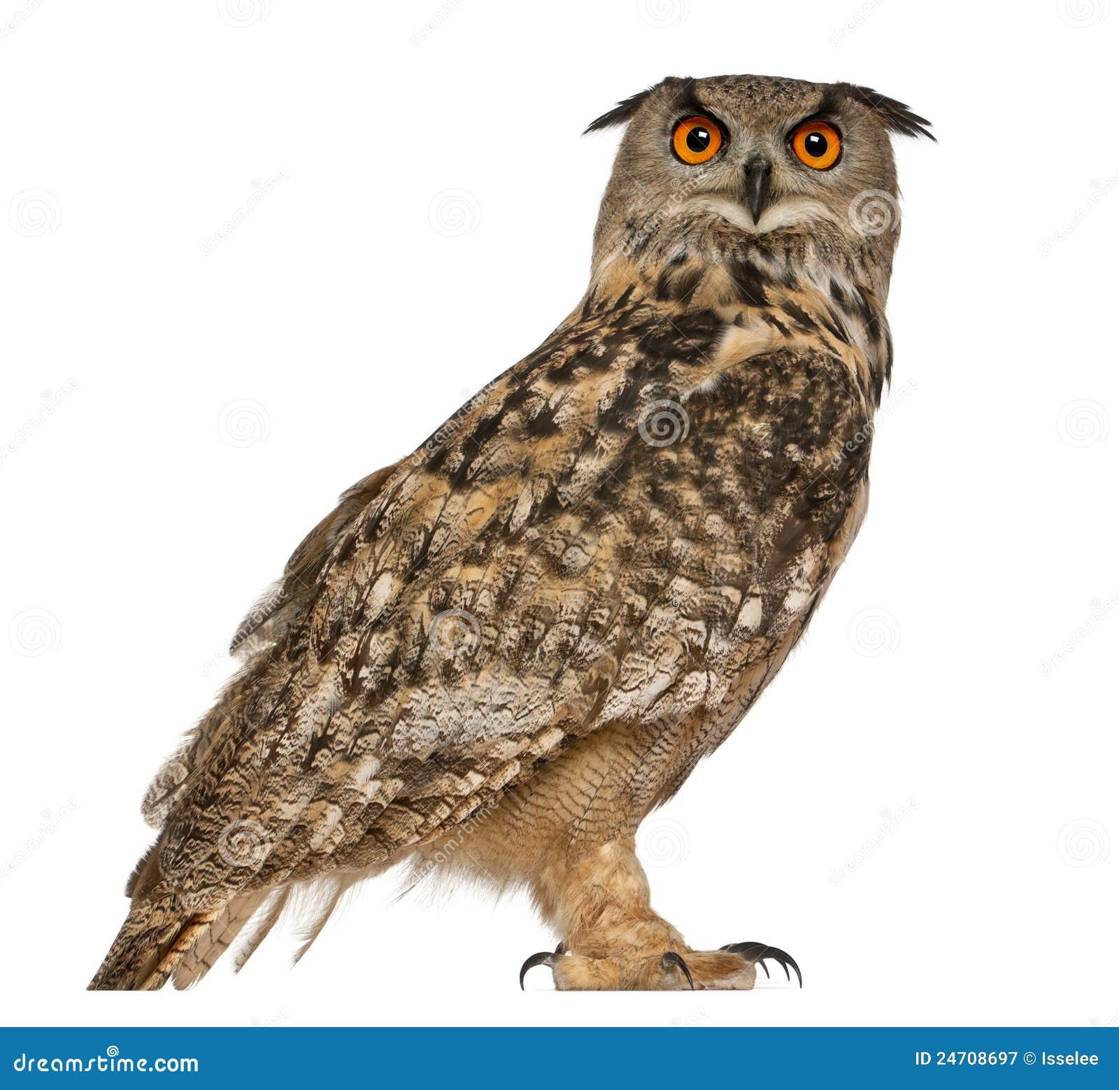 Portret van Europees-Aziatische adelaar-Uil