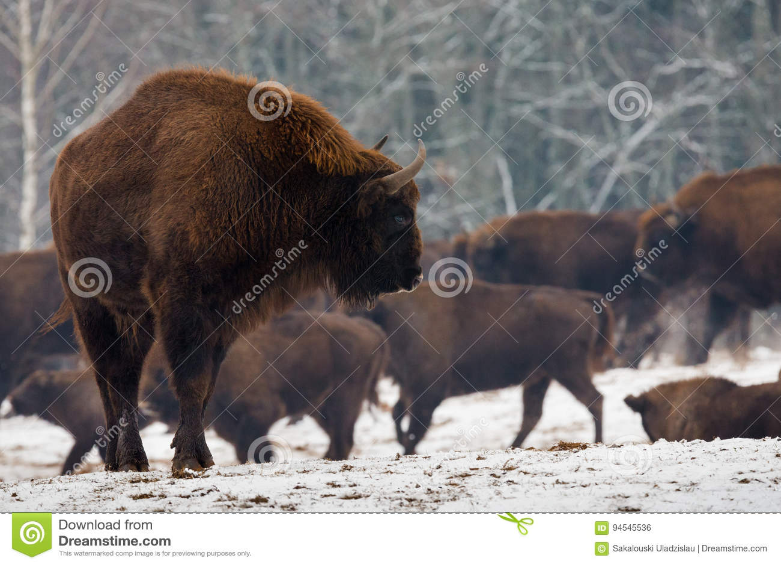 Portret van Europees Bison Aurochs In Wild Nature Krachtig Volwassen Europees Bison Close-Up On The Background van de Kudde in de