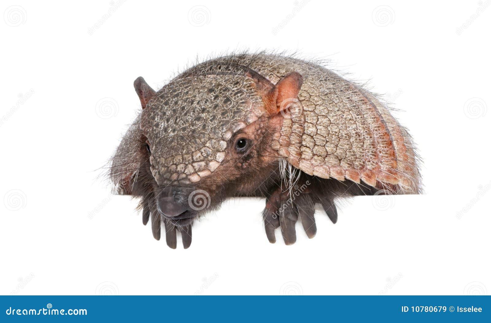 Portret van Gordeldier - Dasypodidae Cingulata