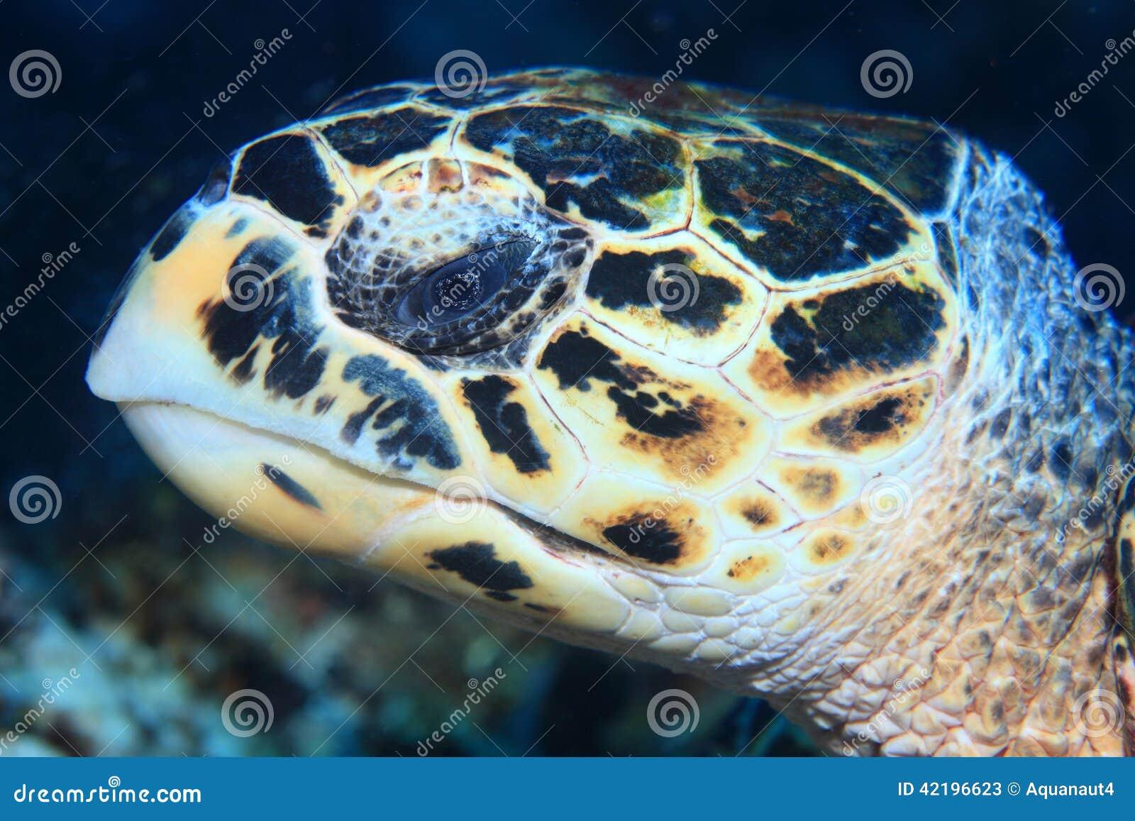 Portret van Hawksbill-zeeschildpad