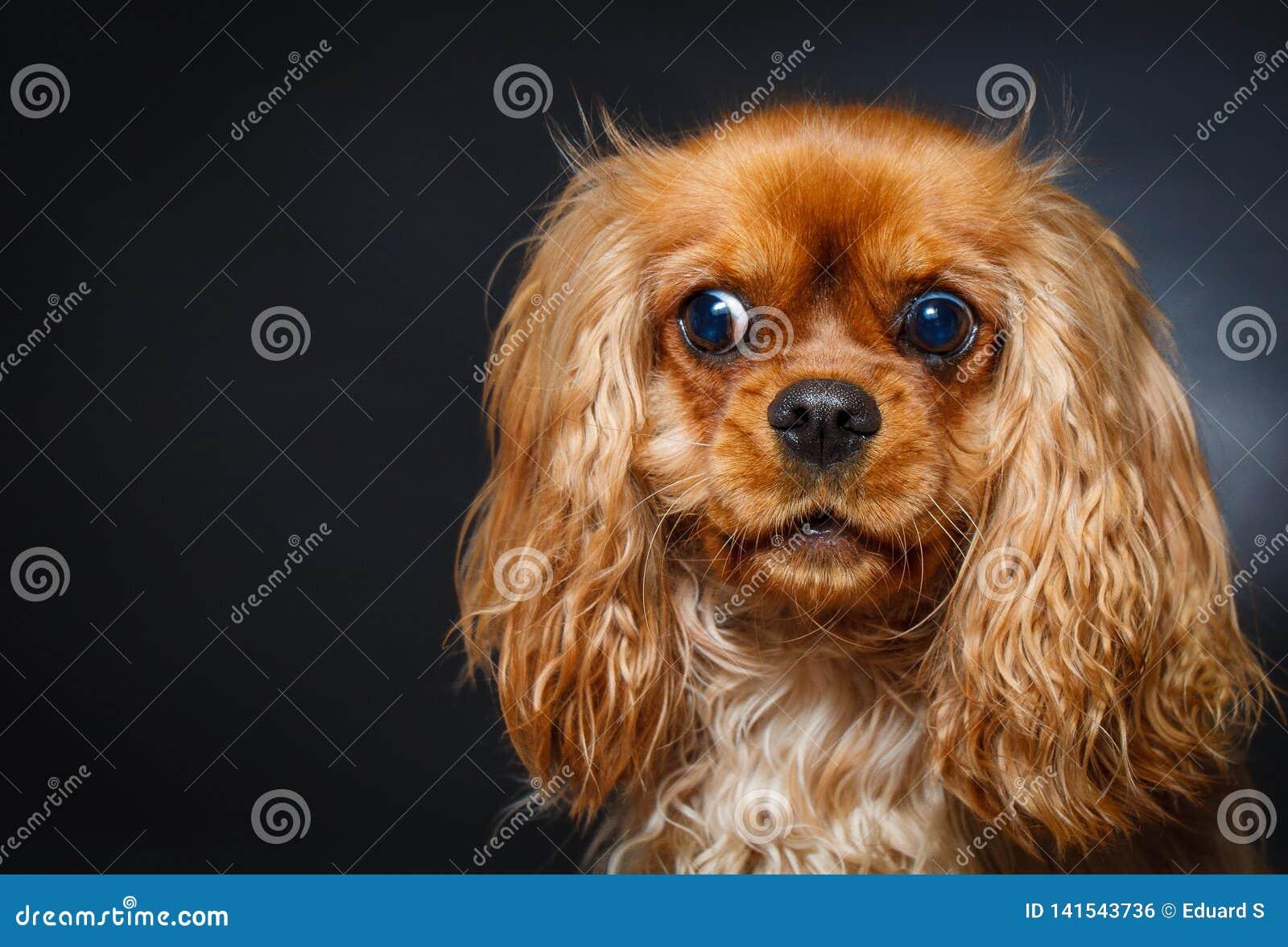 Portret van het leuke arrogante spaniel van koningscharles