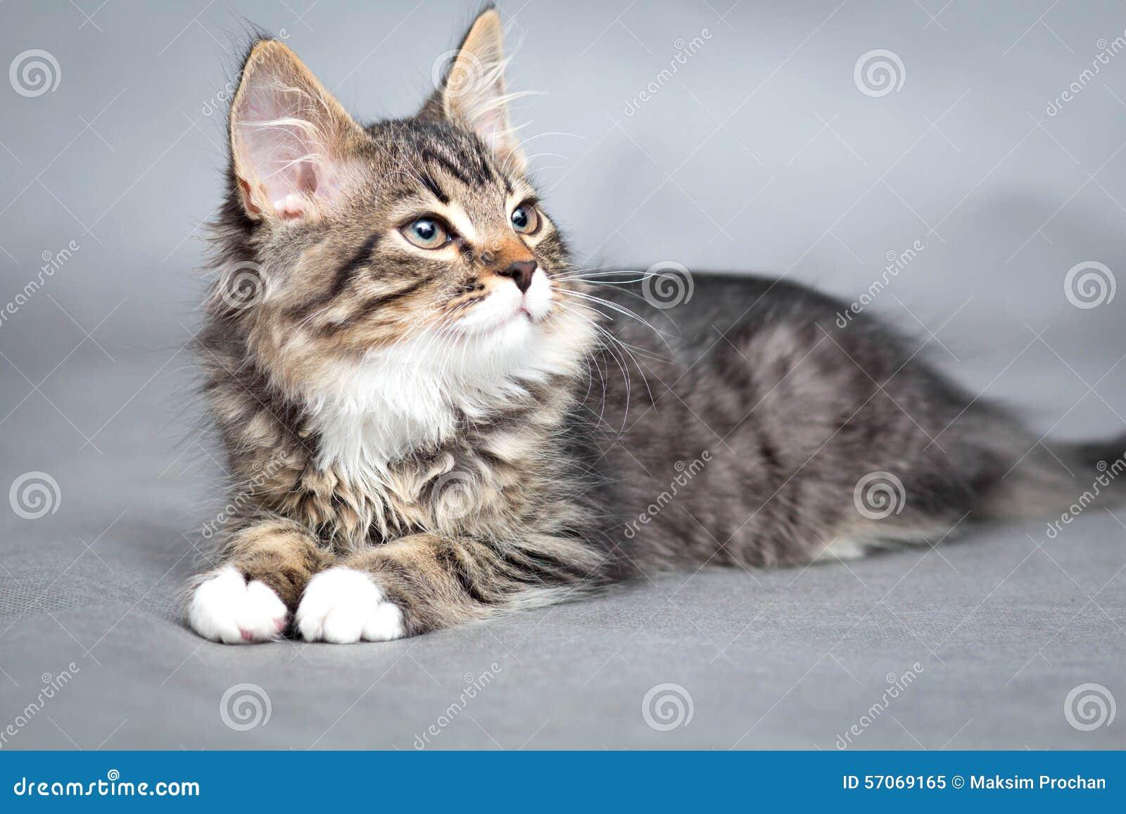 Portret van kleine pluizige het liggen kat
