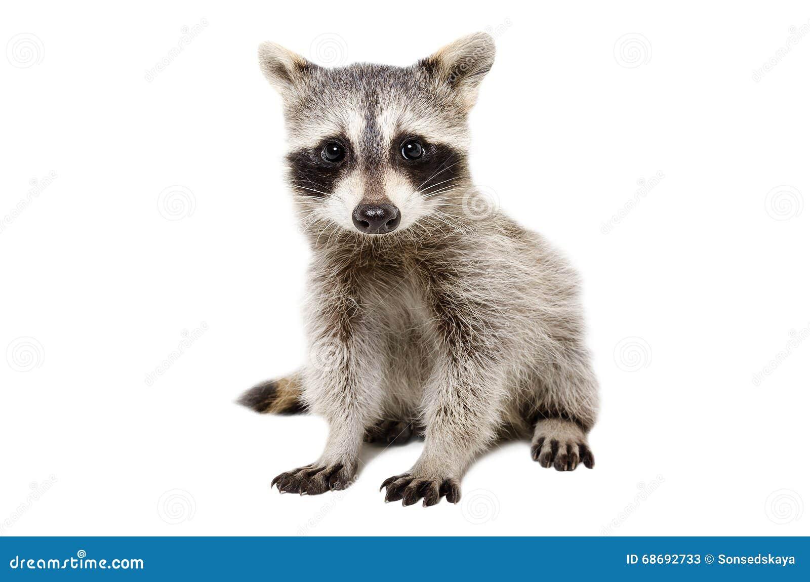 Portret van leuke wasbeer