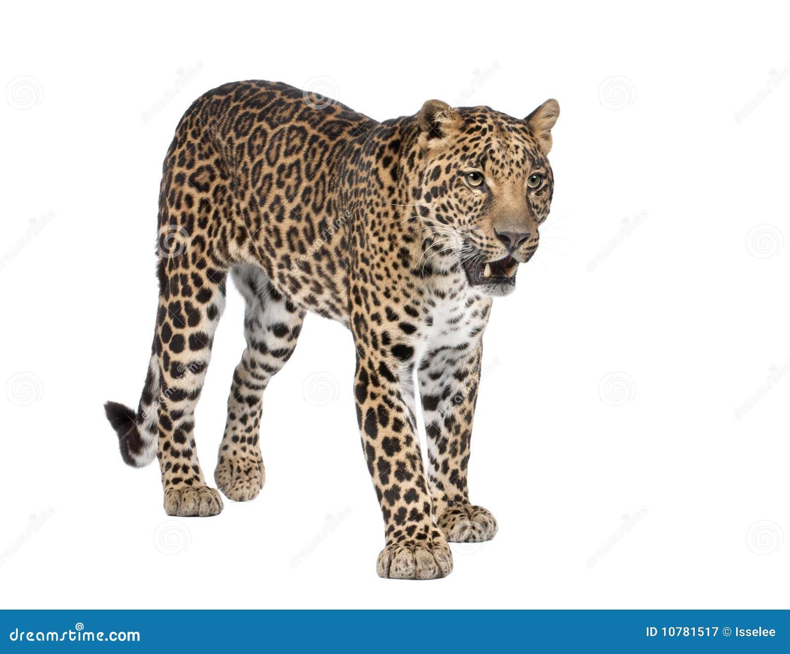 Portret van luipaard, Panthera pardus, status