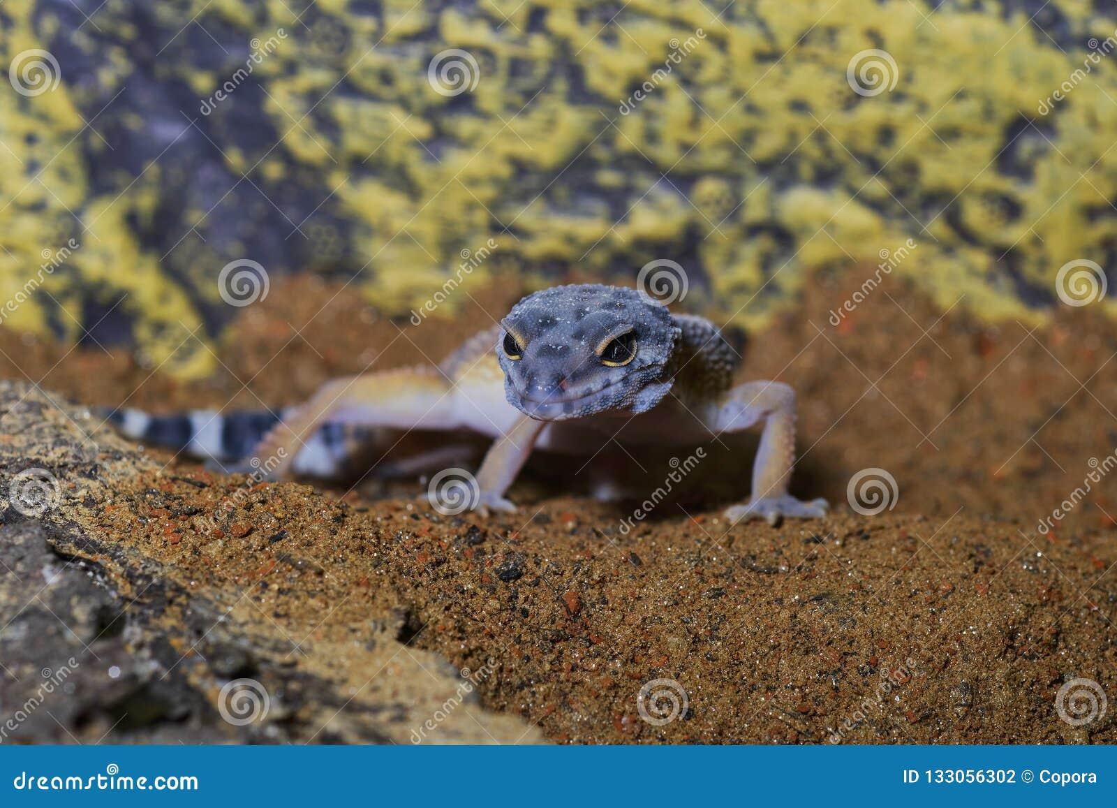 Portret van macularius van Eublepharis van de luipaardgekko op zand