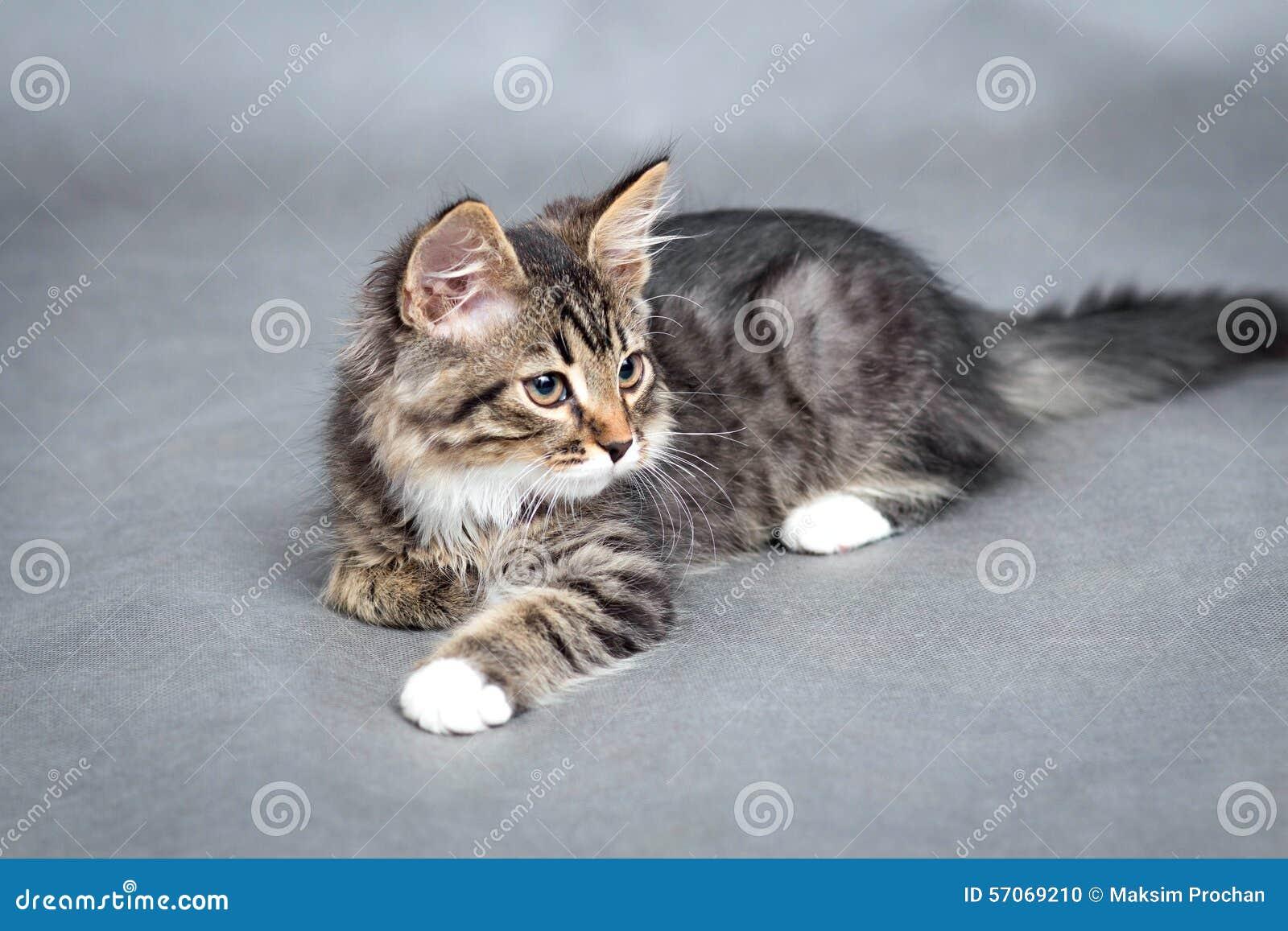 Portret van pluizige het liggen kat