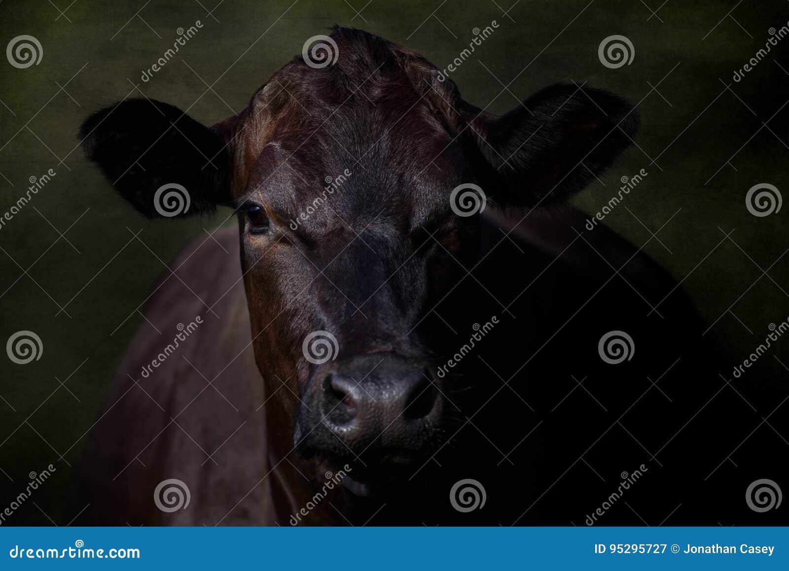 Portret Wielka Czarna krowa