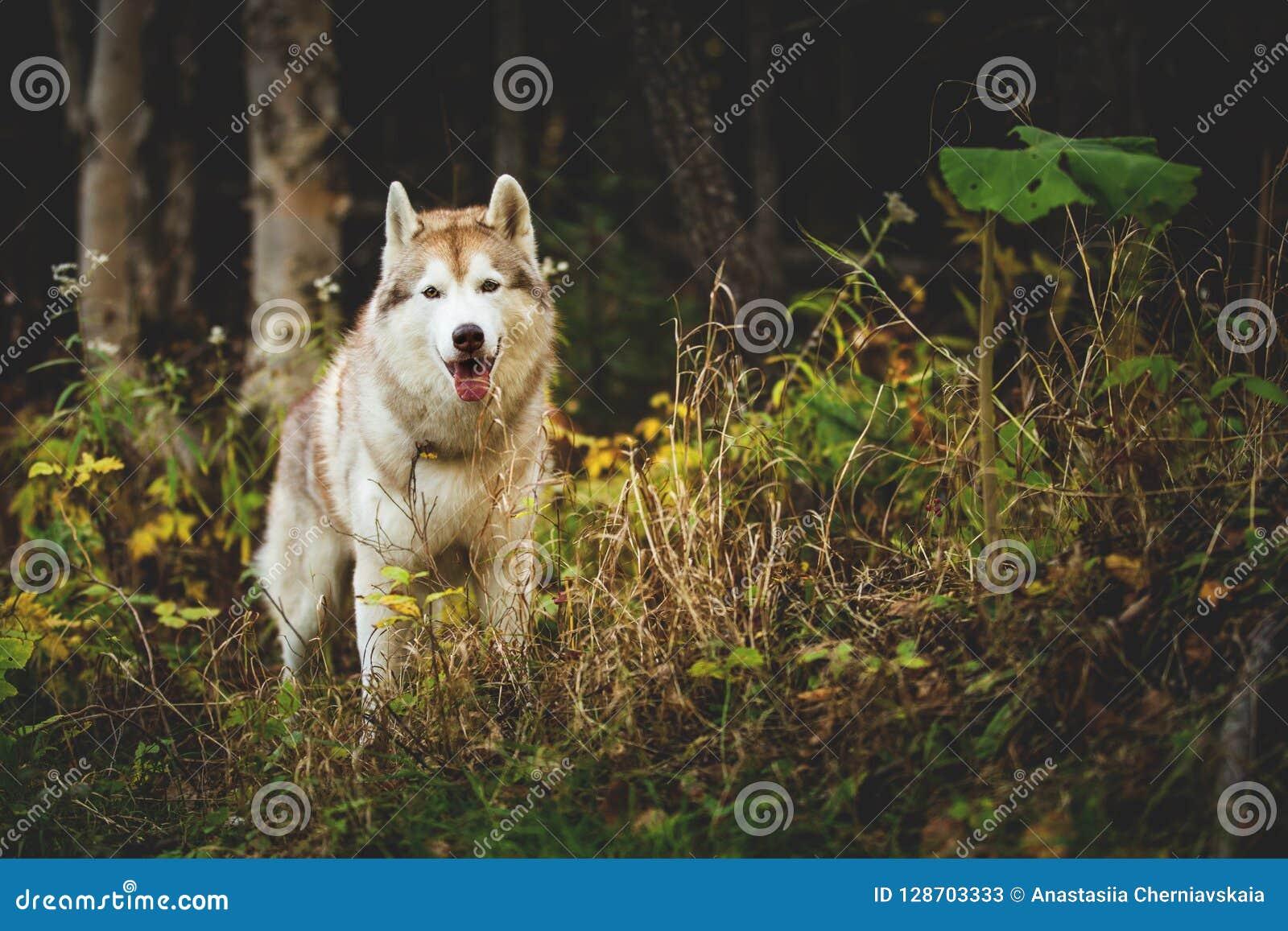 Portret wspaniała Syberyjskiego husky psa pozycja w jaskrawym czarownym spadku lesie