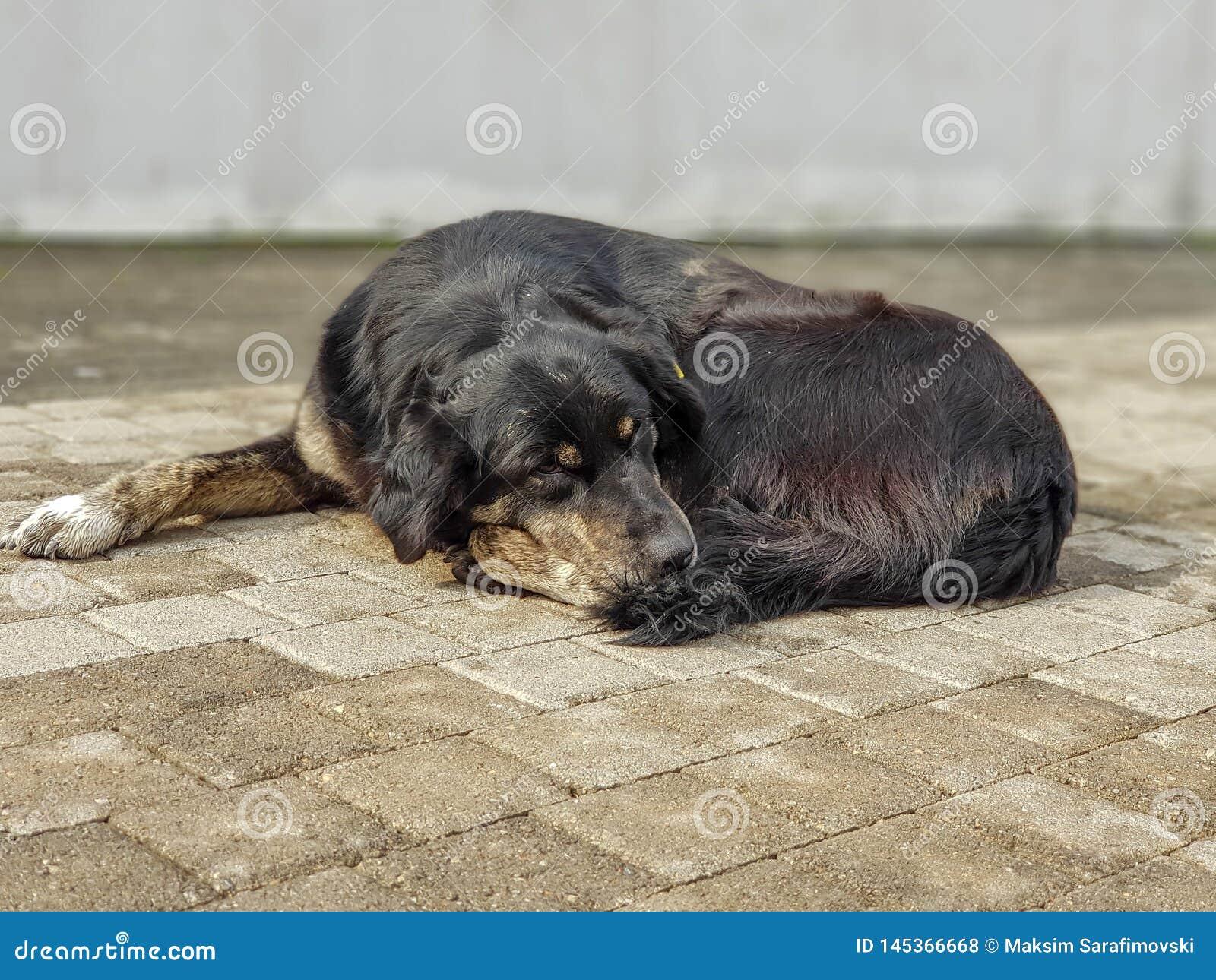 Portret zmęczony i smutny psi odpoczywać na chodniczku
