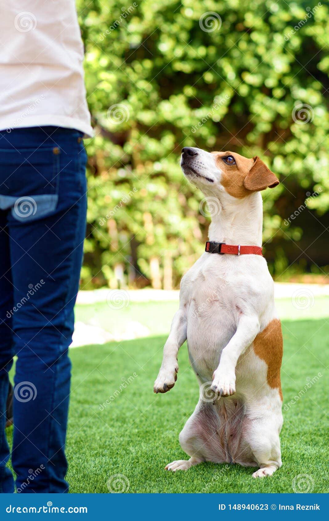 Portreta ?mieszny Psi obsiadanie na tylnych nogach b?aga z oczami w modlenia spojrzeniu