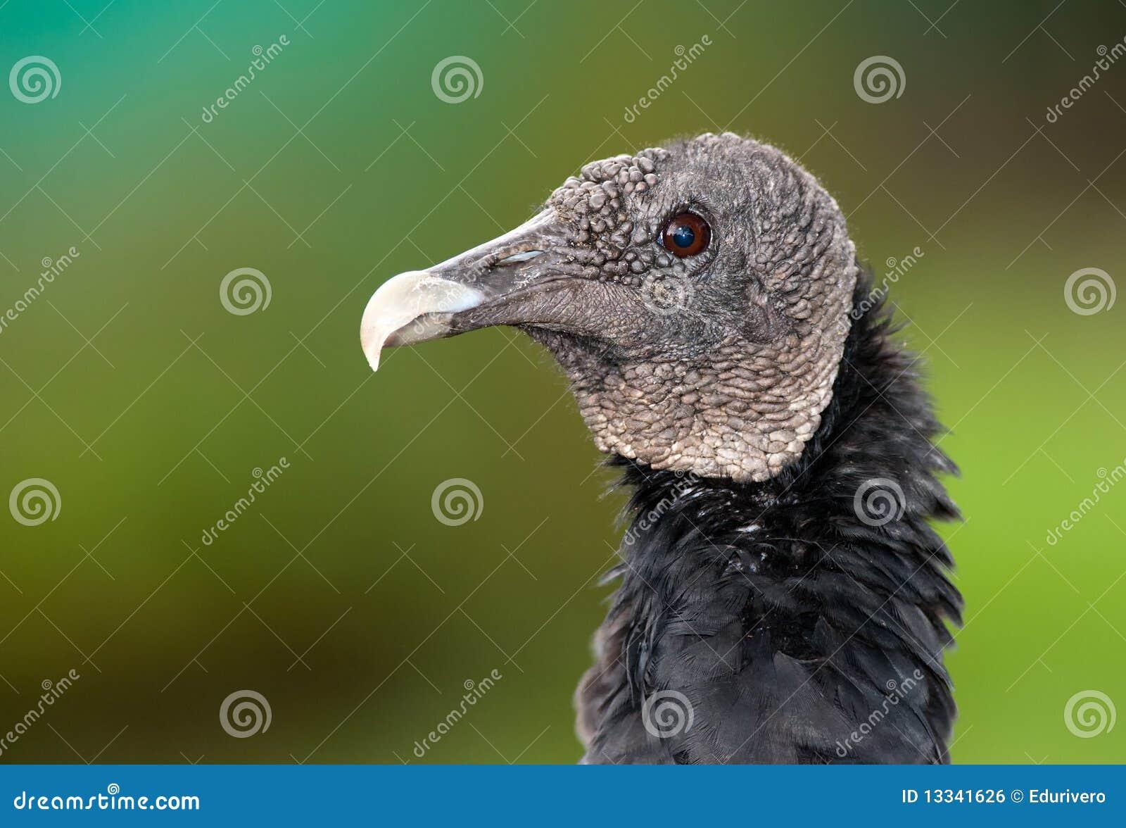 Portreta czarny sęp