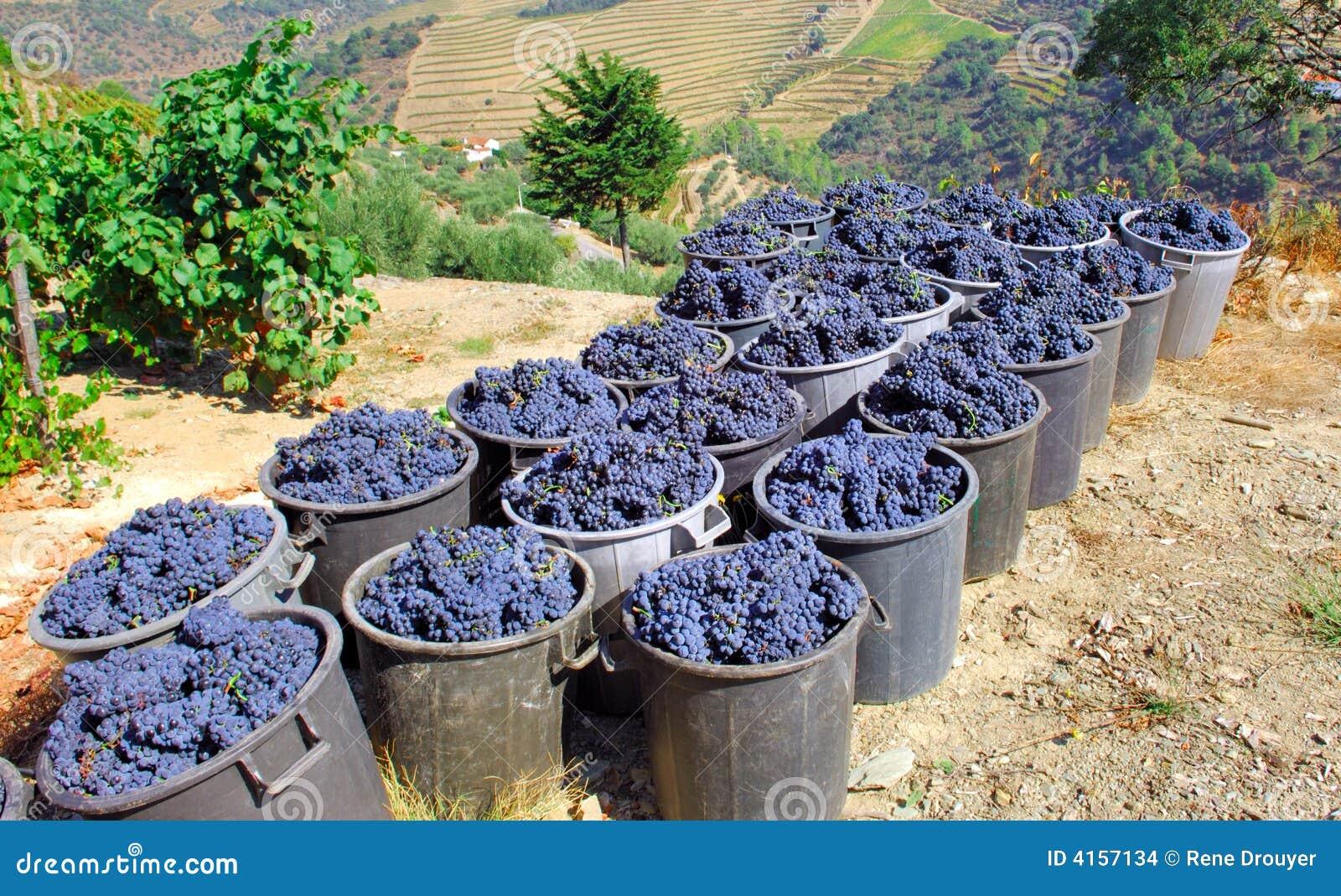 Portugal dale winogron douro