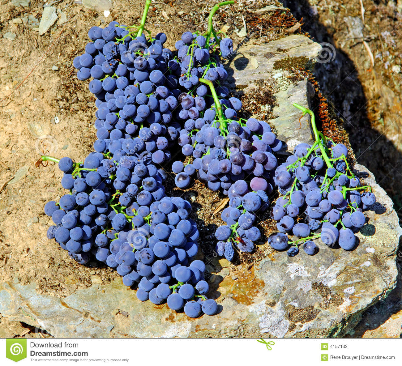 Portugal, Douro; geerntetes Grappe