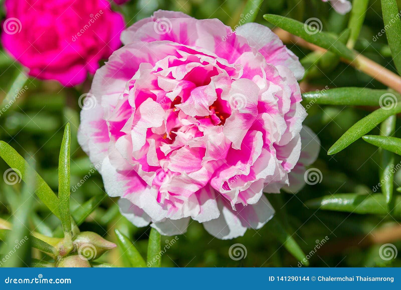 Portulaca花在庭院里 特写镜头桃红色