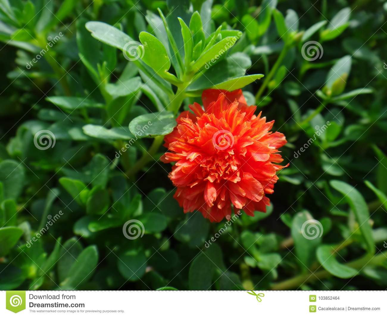 Portulaca flowers - decoration of any flower bed 13