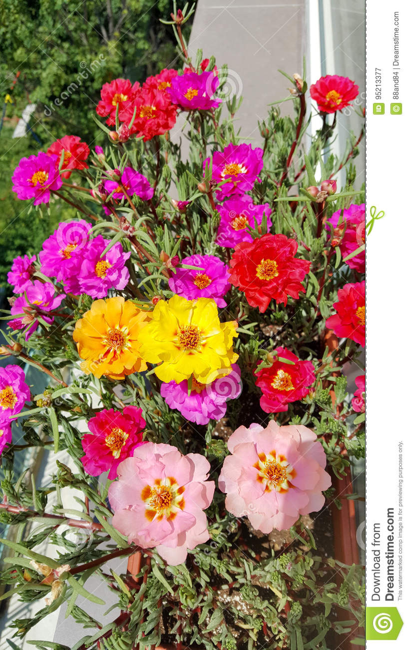 Portulaca flowers - decoration of any flower bed 64