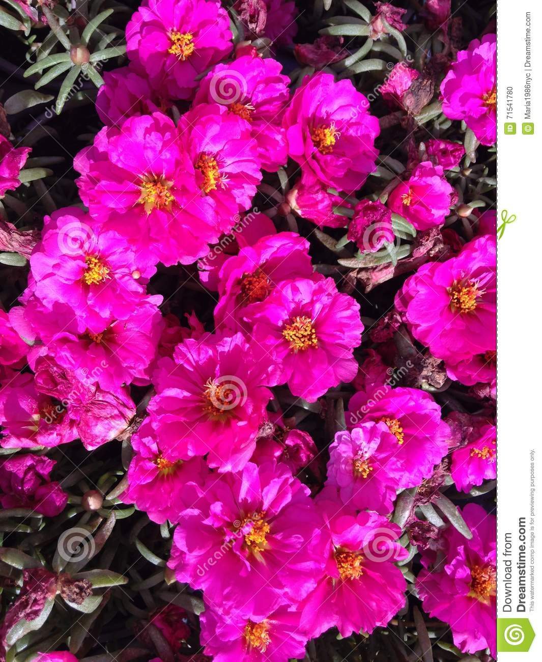 Portulaca Grandiflora Moss Rose Plant Blossoming With Pink Flowers