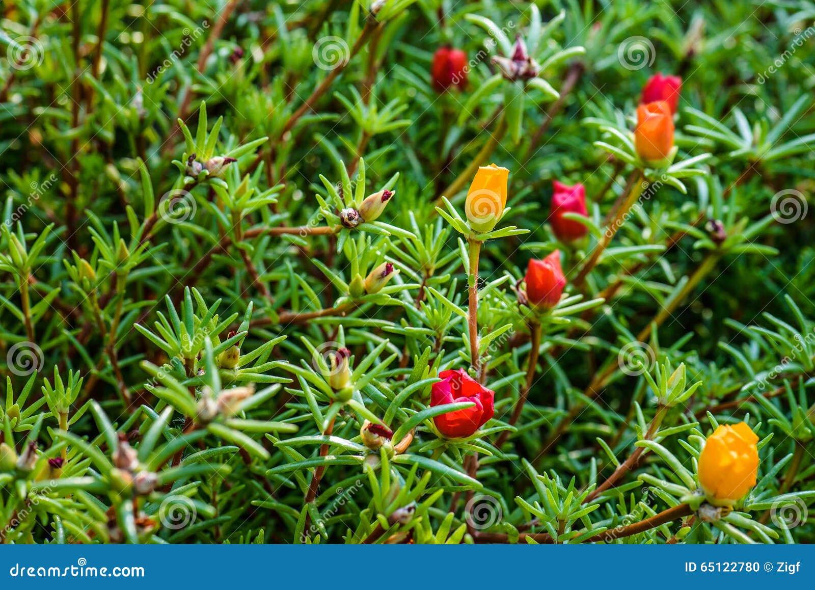 Portulaca Grandiflora Is Plant In Portulacaceae Stock ...