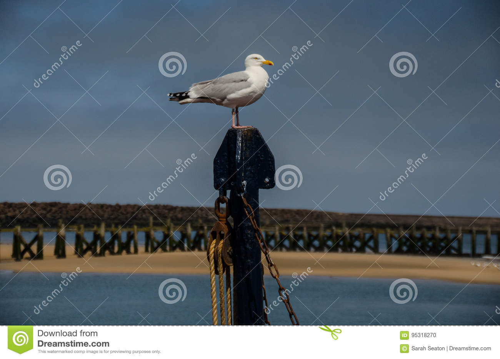 Posera seagullen i Northumberland