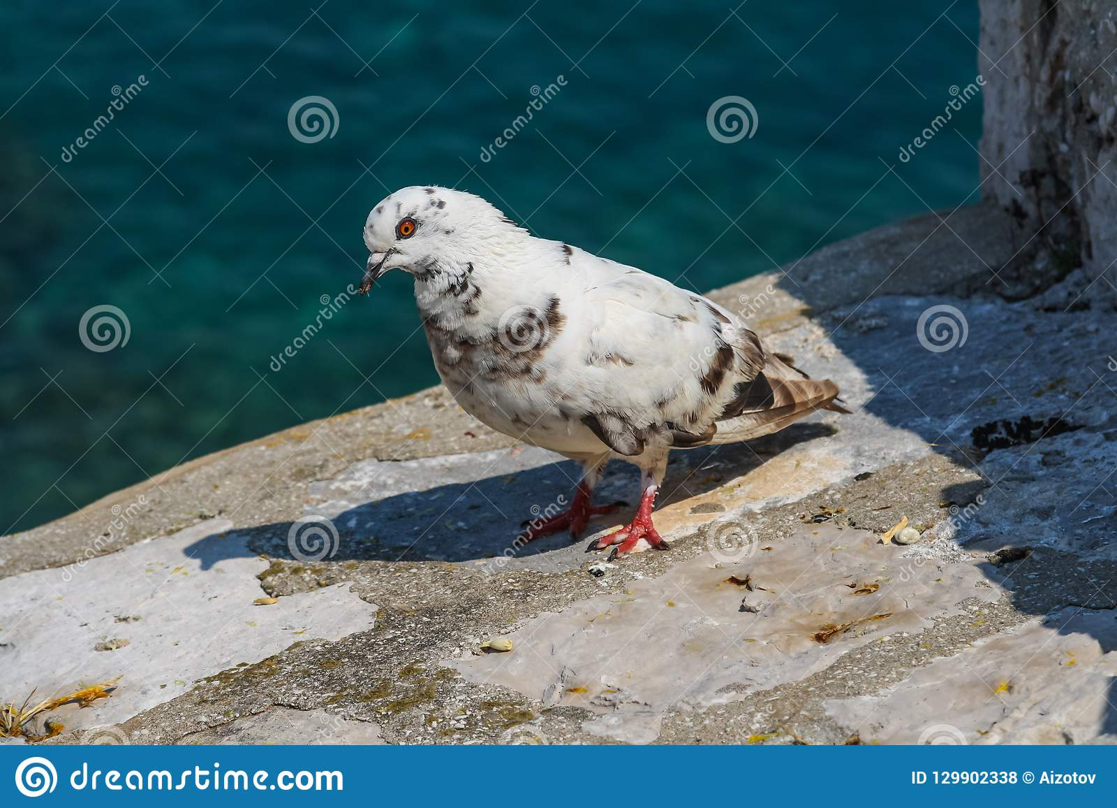 Posição branca do pombo na parede de pedra da fortaleza em Dubrovnik