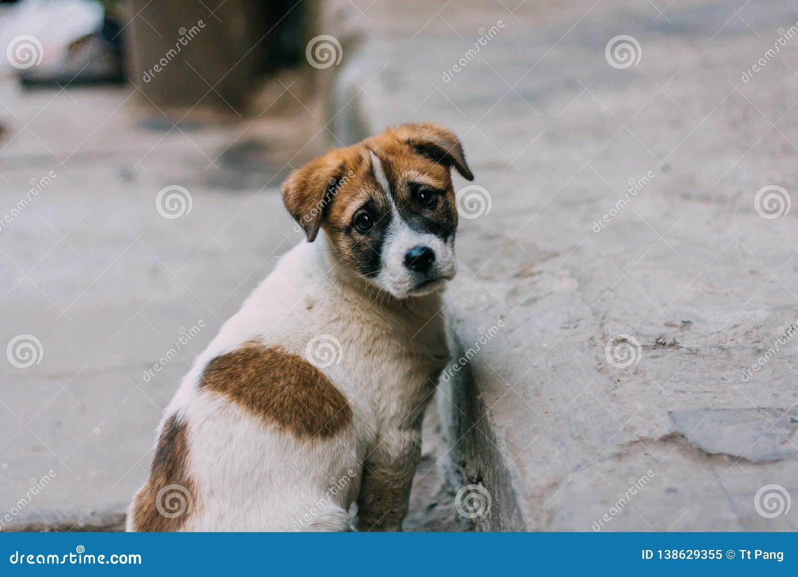 Posição branca e marrom triste do cão disperso em uma estrada que olha para trás