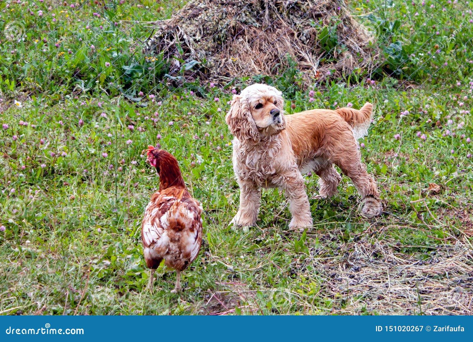 Posição de Cocker Spaniel do americano perto da galinha na grama verde