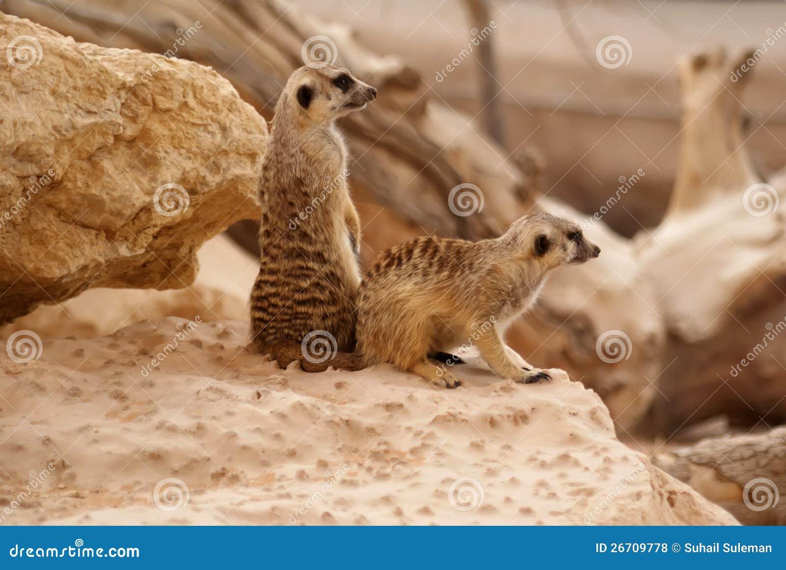 Posição de Meerkats