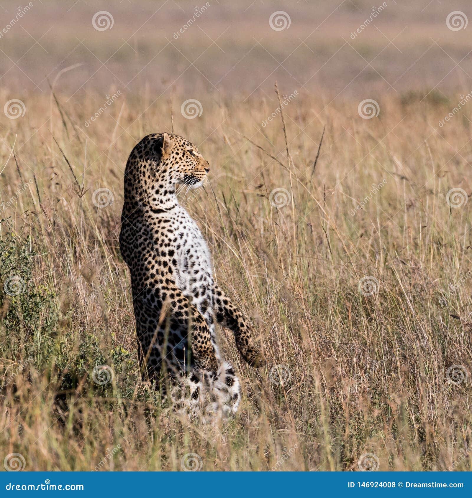 Posição do leopardo em seus pés traseiros para fazer a varredura do horizonte