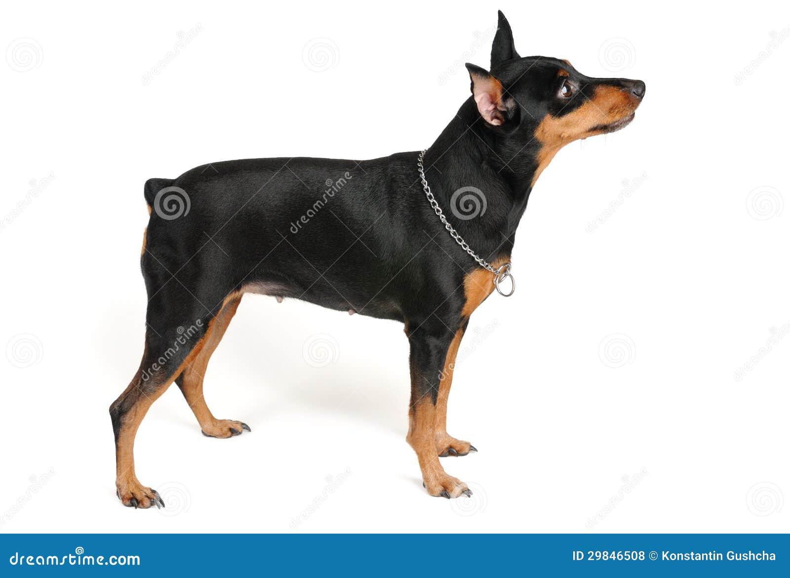 Posição do cão