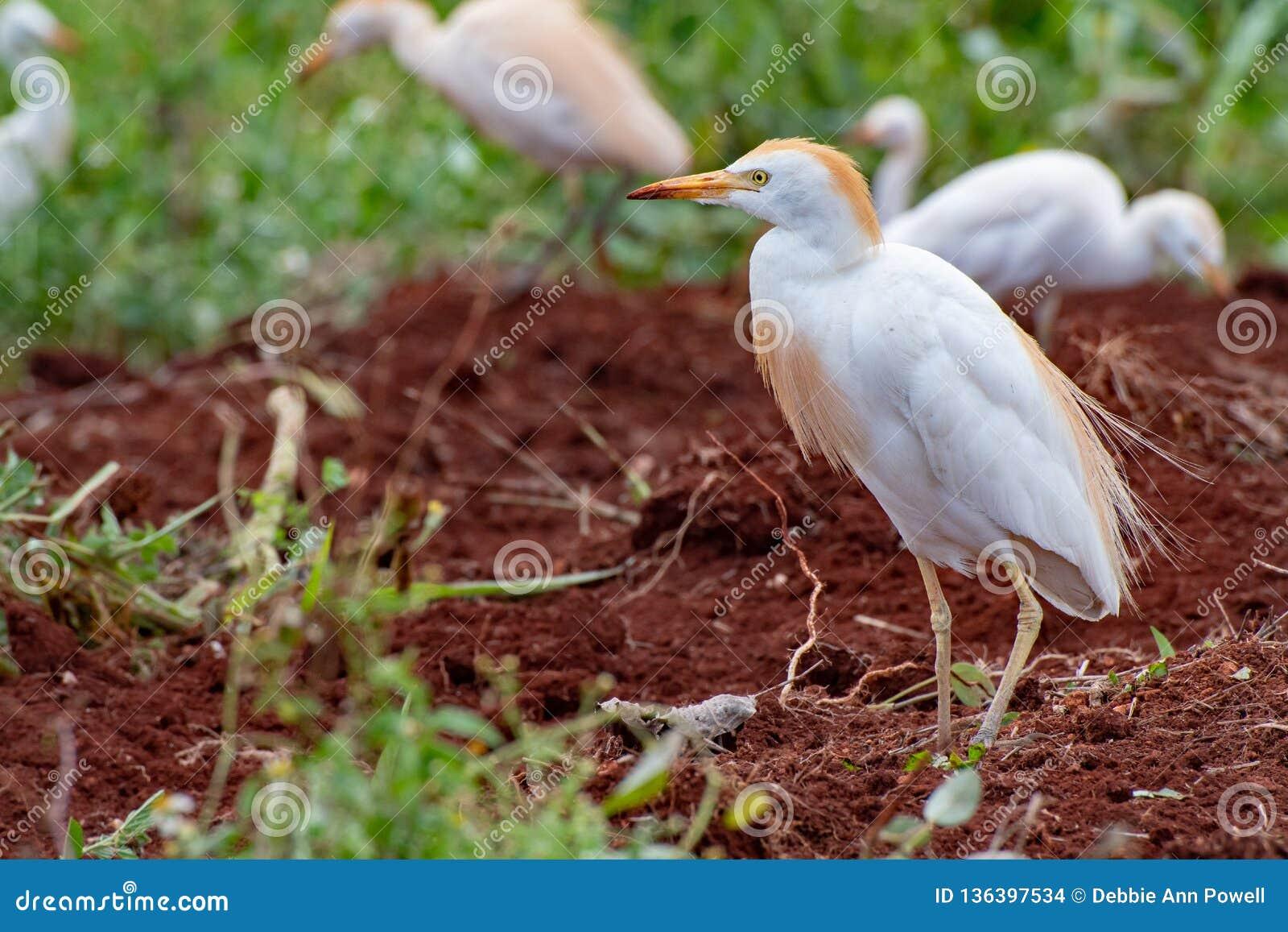 Posição dos Egrets de gado e pesquisa por sem-fins