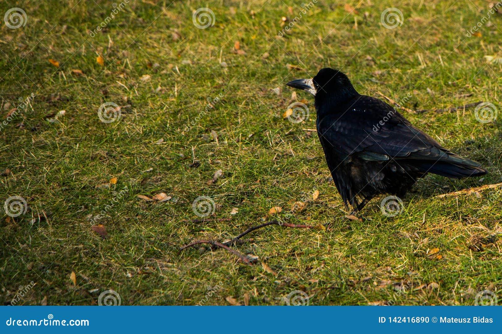 Posição escura do corvo na terra Lugar para a inscrição