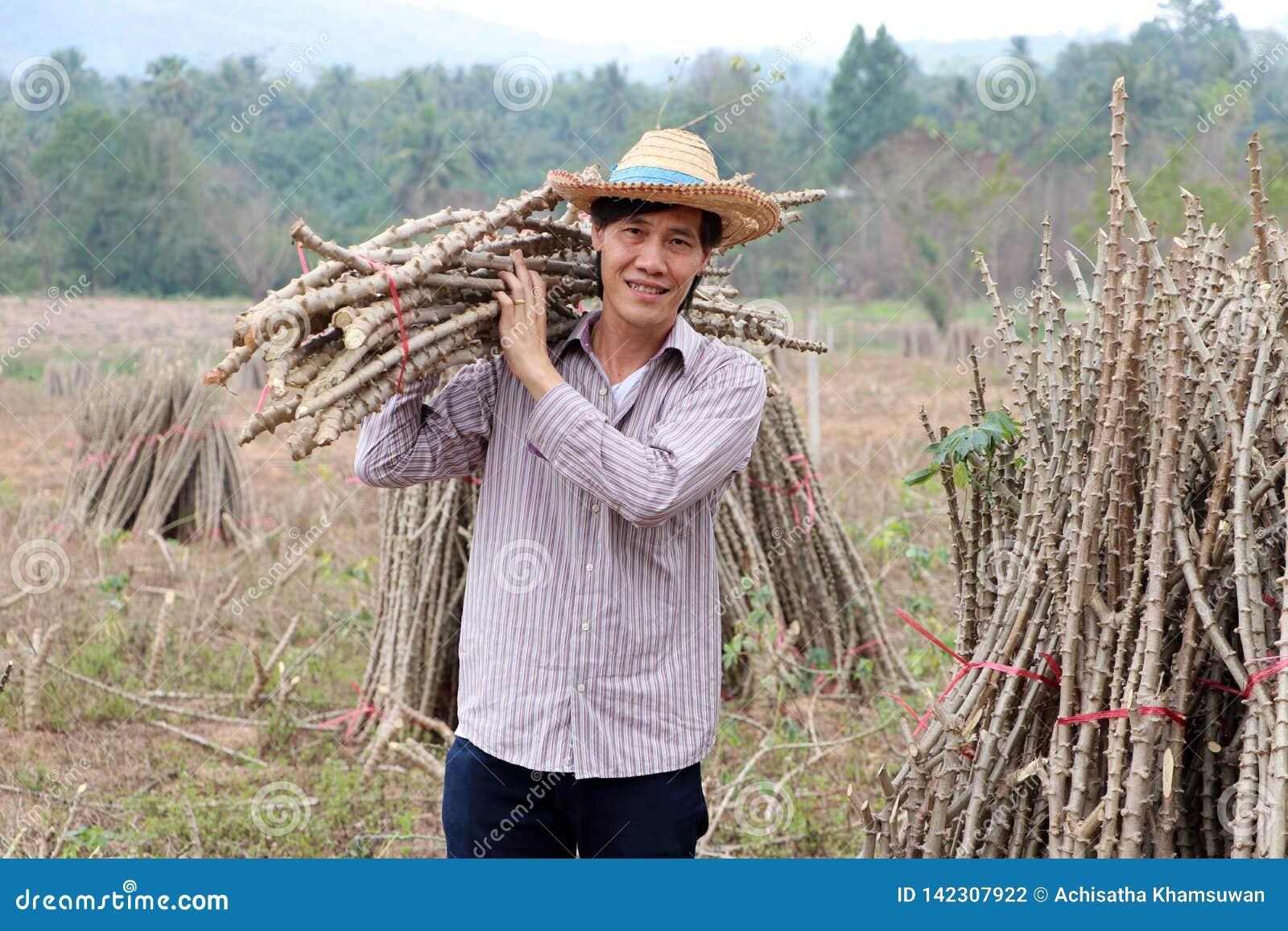 Posição masculina do fazendeiro e membro das tapiocas do ombro que cortou a pilha junto na exploração agrícola