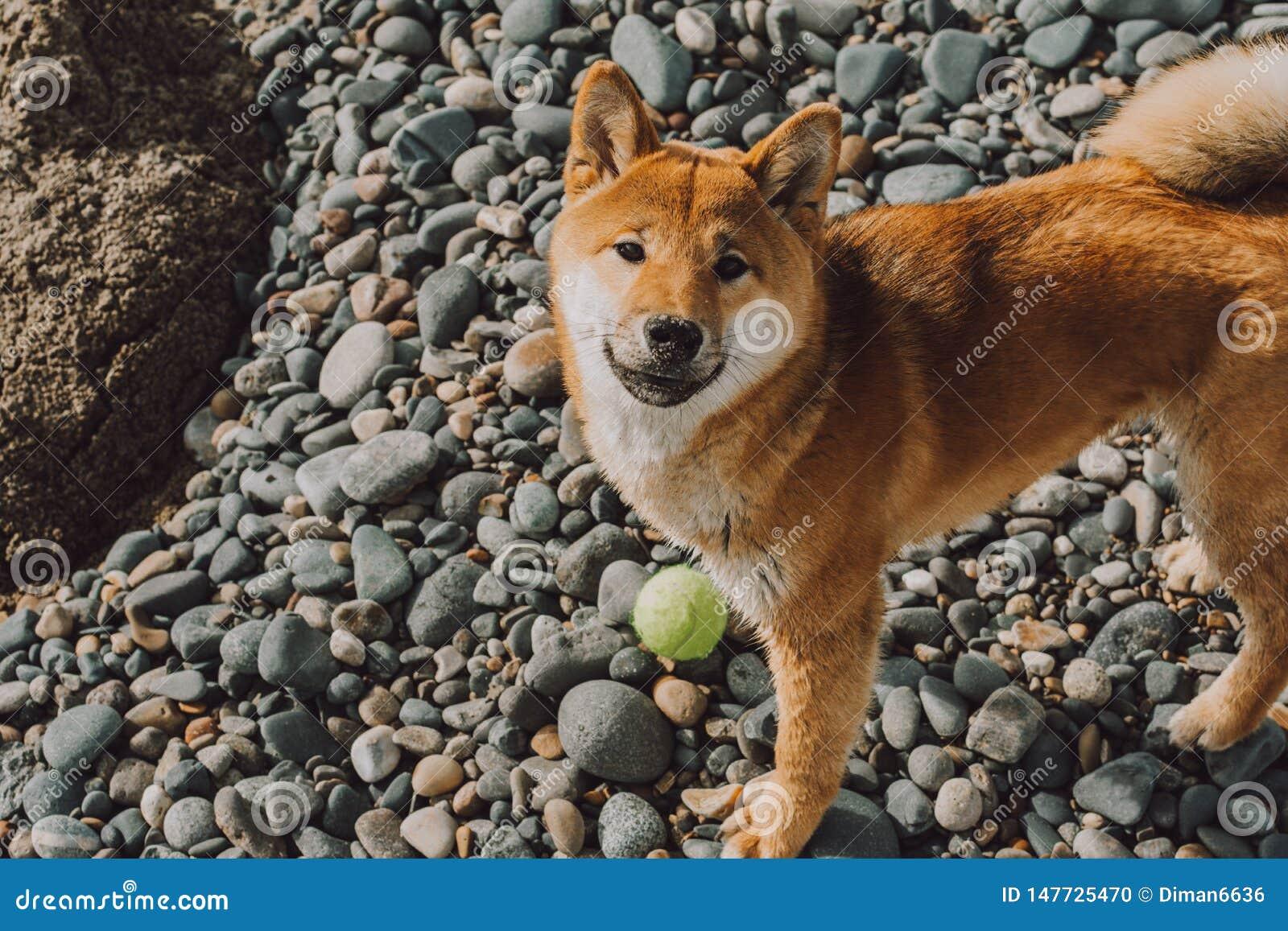 Posição nova vermelha do shiba-inu do cão na praia com bola verde