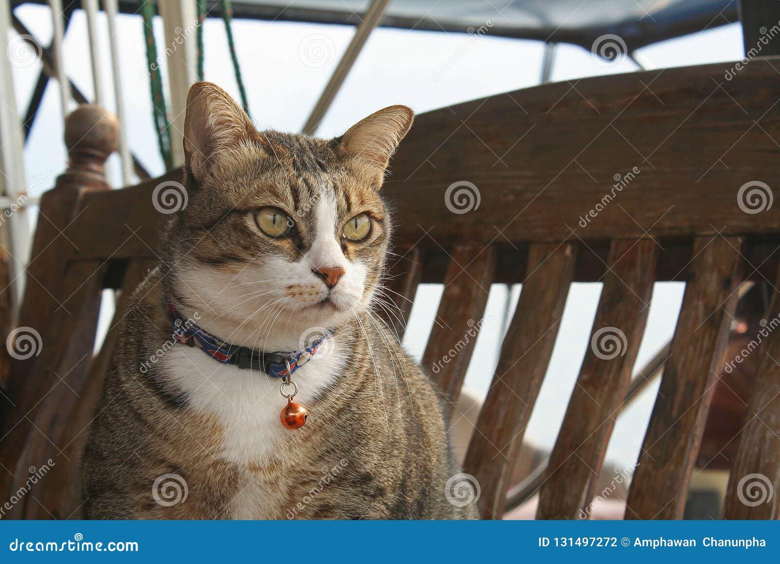 Posição temperamental do gato na madeira