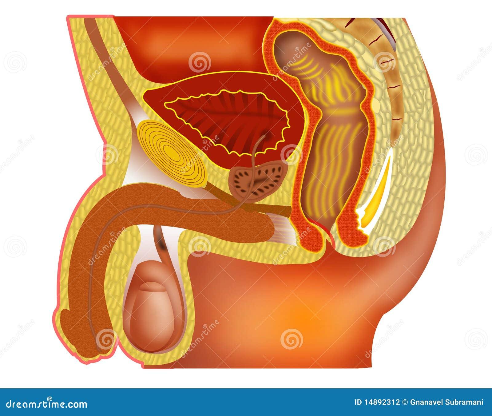 posición anatómica de la próstata